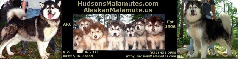 Hudsons Alaskan Malamutes - AKC bred for temperment, quality and size