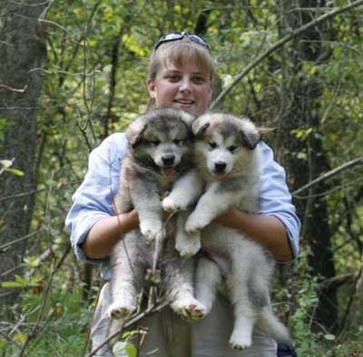 Alaskan Malamute Puppies on Alaskan Malamute Puppies Pics