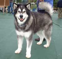 Hudsons Malamutes - AMCA Nationals Adak