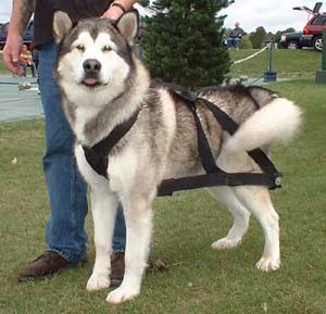 Hudsons Malamutes - AMCA Nationals Jammer
