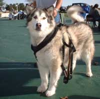 Hudsons Malamutes - AMCA Nationals Nanook