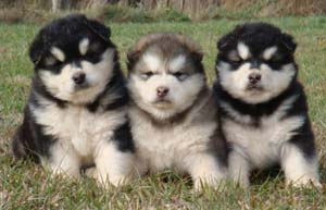 Hudsons Malamutes -  Puppies, puppies, puppies - Chyna puppies!