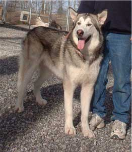 Hudsons Malamutes - Grizzley
