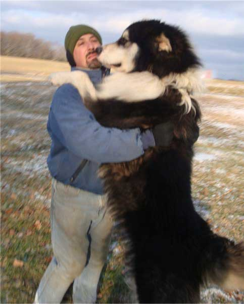 Alaskan Malamutes. Is the Malamute right for you? The About Malamutes