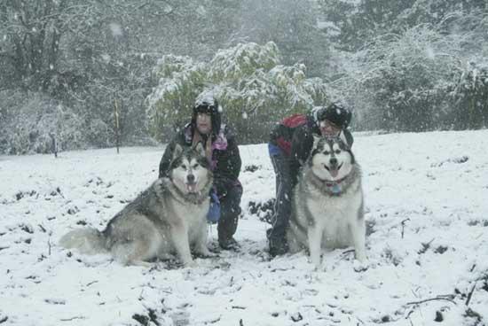 Giant Malamute Wolf Hybrid