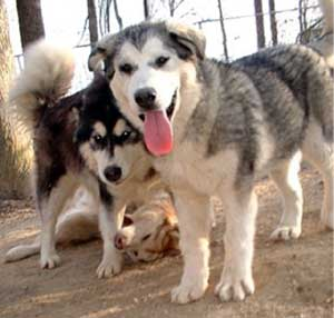 Hudsons Malamutes - The Girls Having Fun - a daily ritual