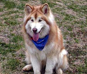 Red Giant Alaskan Malamute - Pics about space