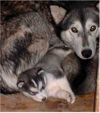 Hudons Malamutes - Juliette - born March 8, 2004